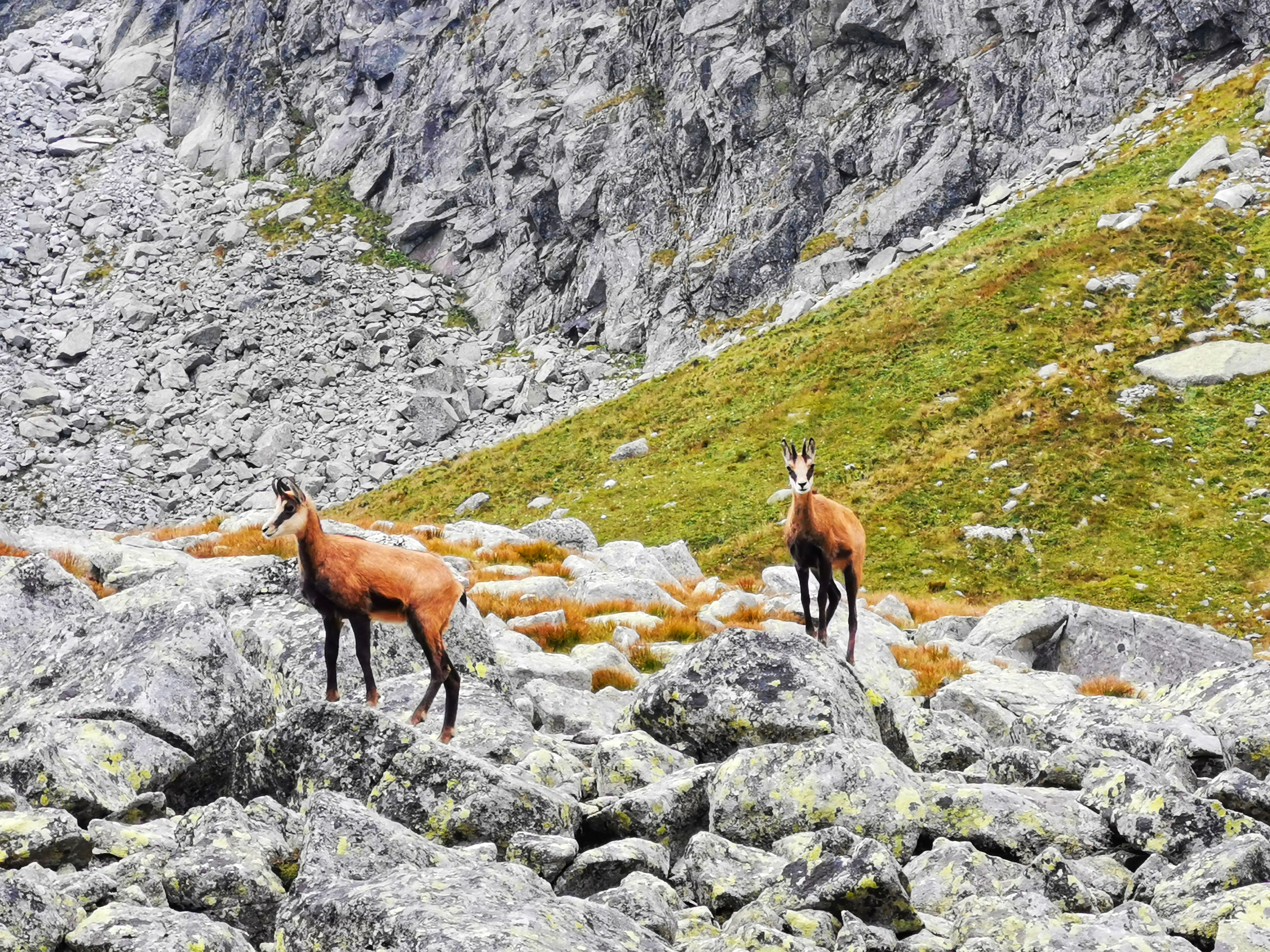 As of 2006, the Slovak Tatra National Park was home to 371 chamois, of which 72 were lambs, and the Polish Tatra National Park was home to 117 chamois, of which 27 were lambs. As of 2010, a population recovered to 841 chamois, of which 74 were lambs, 699 (57 lambs) in Slovakia and 142 (17 lambs) in Poland, which is near the peak of 1964. The highest ever population was recorded in 2018, when 1,431 individuals were counted in Tatras.