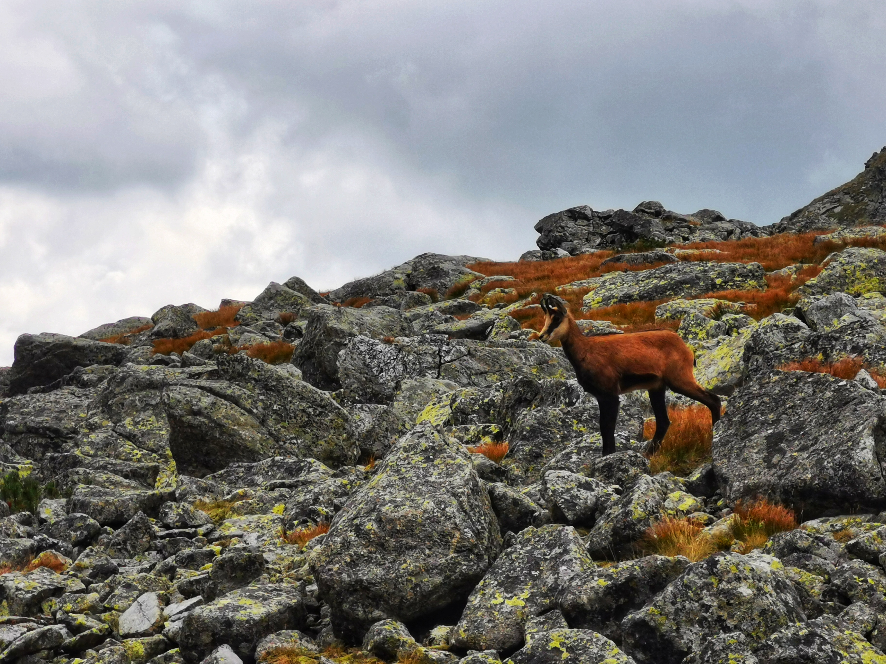 The Tatra chamois live only in the Tatra Mountains in Slovakia and Poland.