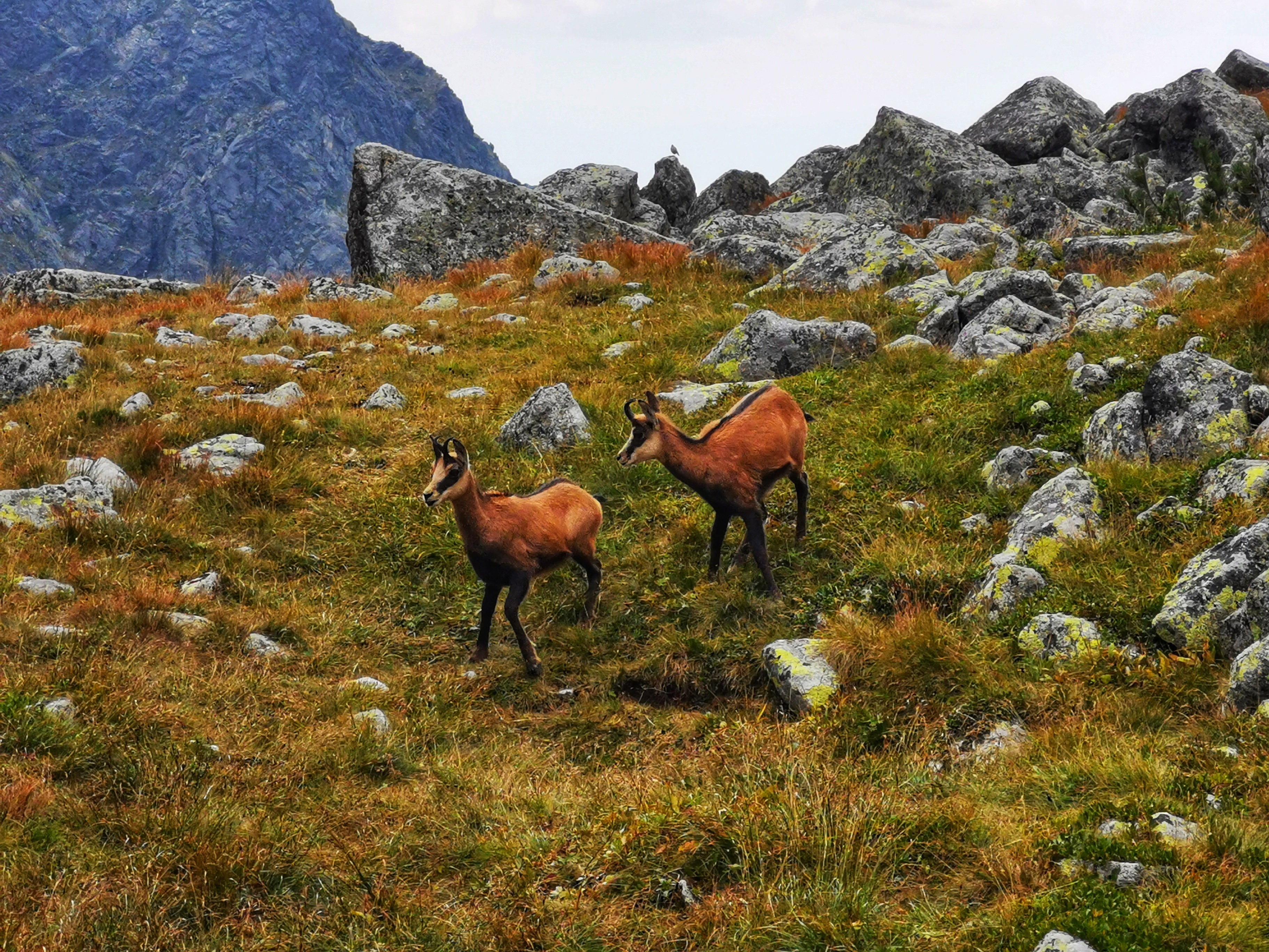 The Tatra chamois is a subspecies of the chamois of the genus Rupicapra.